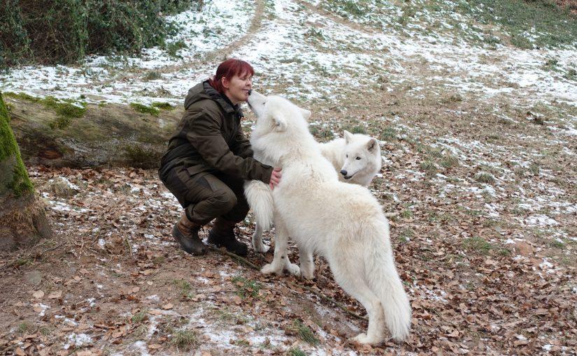 Die Rückkehr des Wolfs in die Großregion